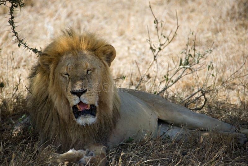 Download Lion stock photo. Image of safari, tanzania, nature, savanna - 515318