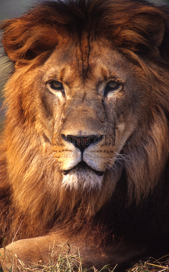 Download Lion Royalty Free Stock Images - Image: 5246879