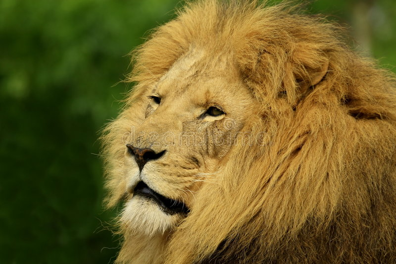Lion. Is looking for prey or food in late afternoon, the gloden glow of sunlight enhanced glamour of the charismatic face stock photo