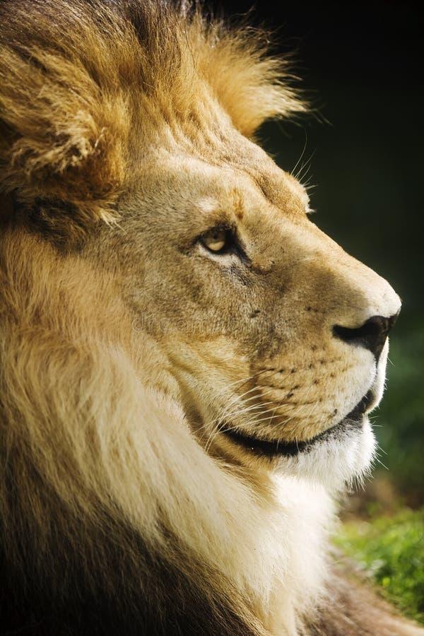 Free Lion Stock Image - 6740581