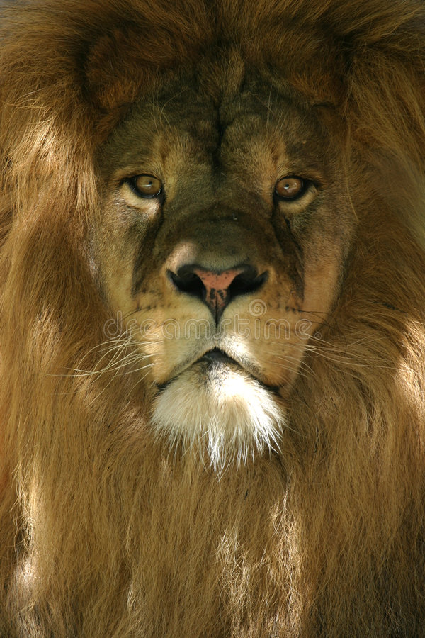 Lion. African lion royalty free stock image