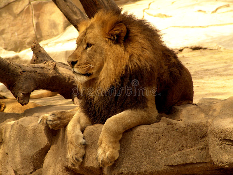 Lion photographie stock