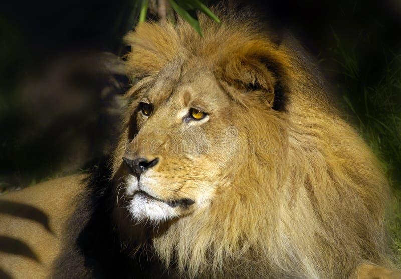 lion 8 arkivbilder