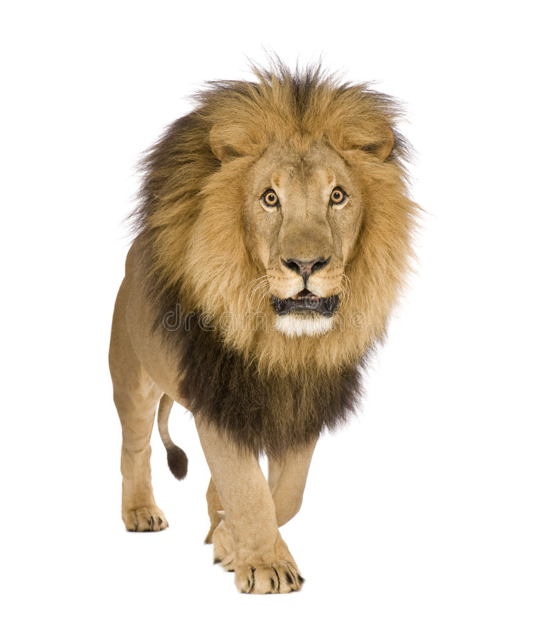 Lion (8 years) - Panthera leo stock image