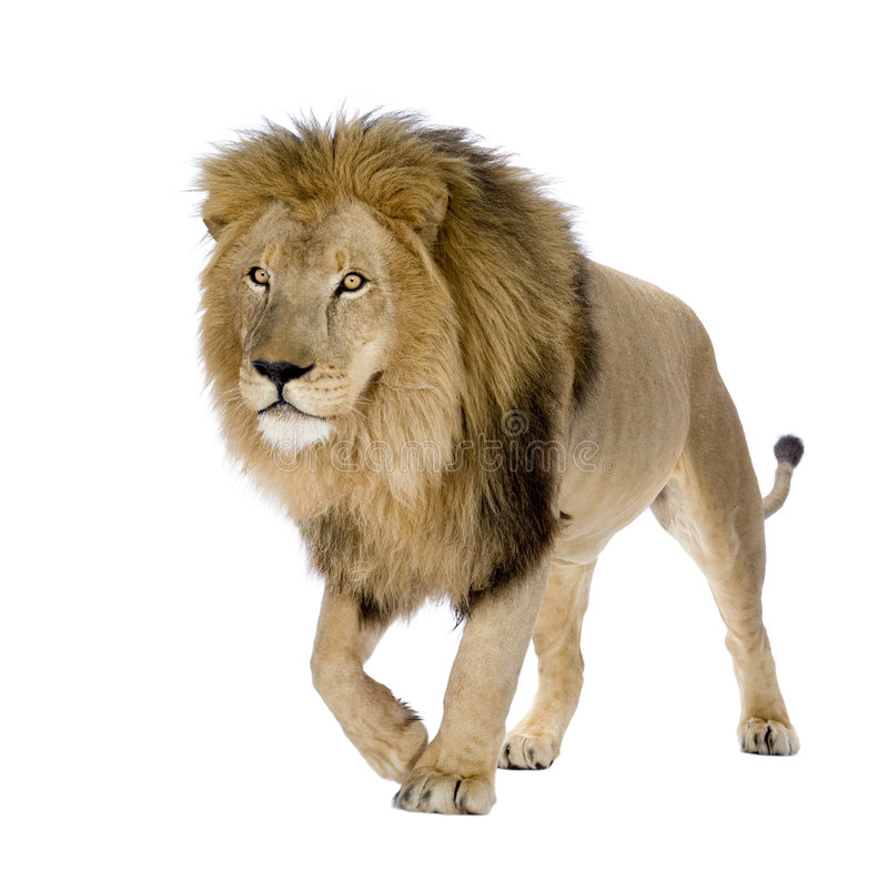 Lion (8 years) - Panthera leo royalty free stock image