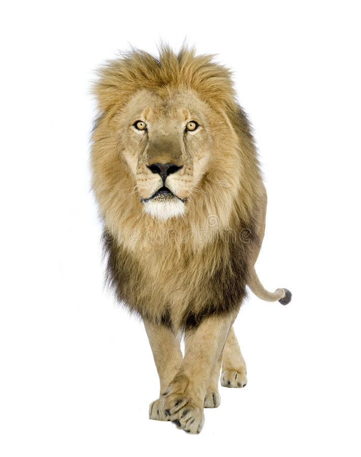 Lion (8 years) - Panthera leo royalty free stock photography