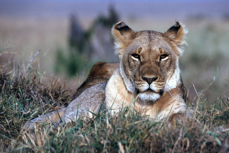 Download Lion photo stock. Image du verticale, safari, mara, femelle - 85480