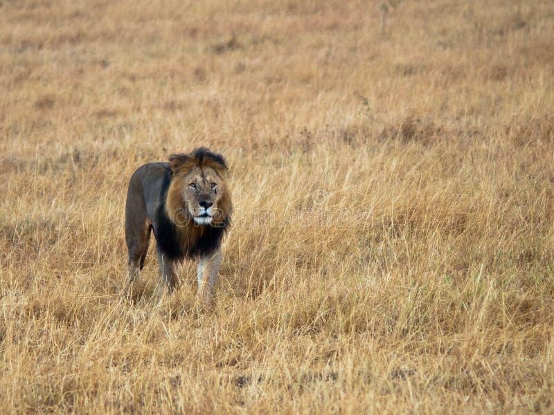 Lion adulte avec une cicatrice  photo libre de droits