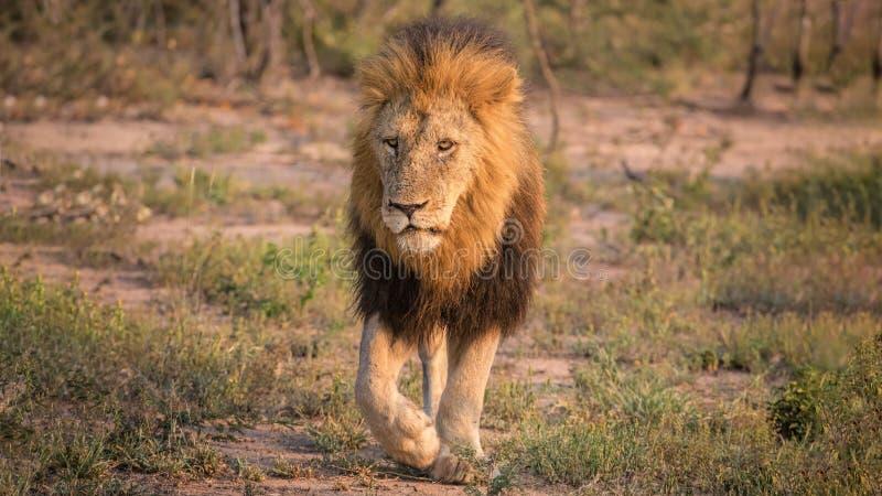 Lion adulte masculin marchant dans le buisson images stock