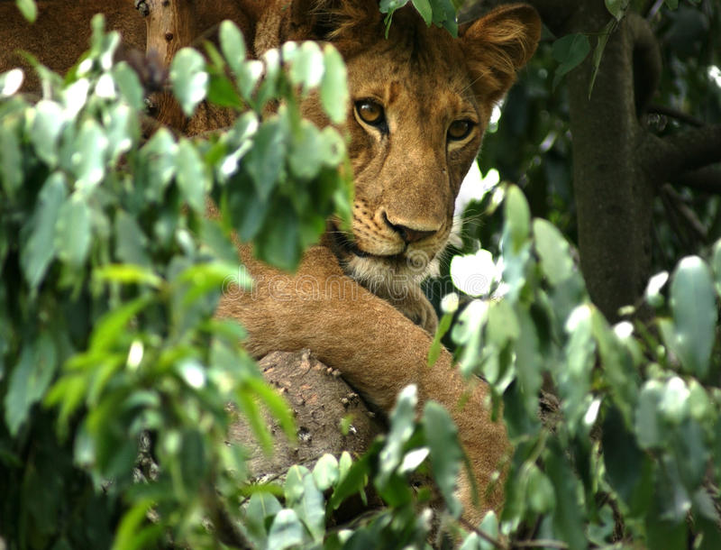 Lion in Africa stock image
