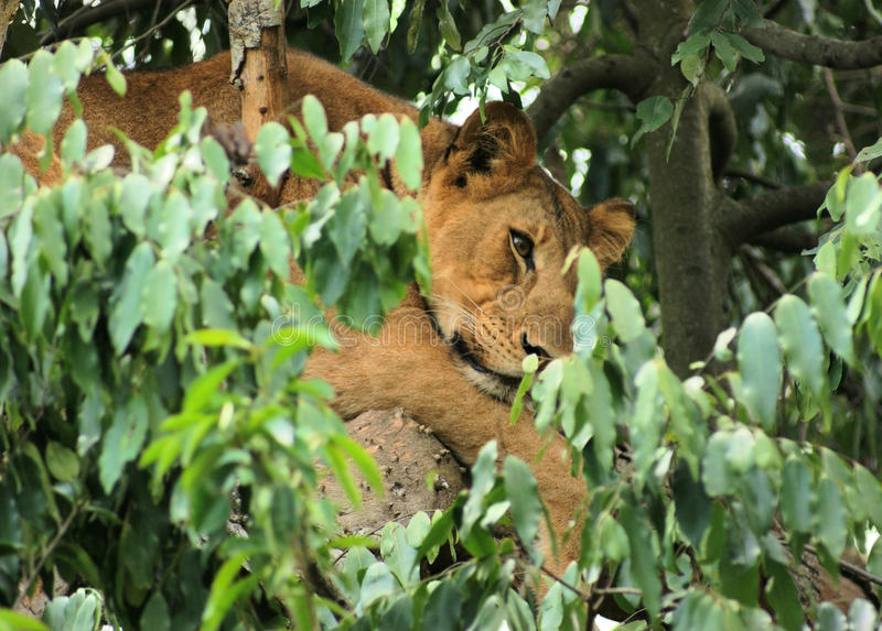 Lion In Africa Royalty Free Stock Photo