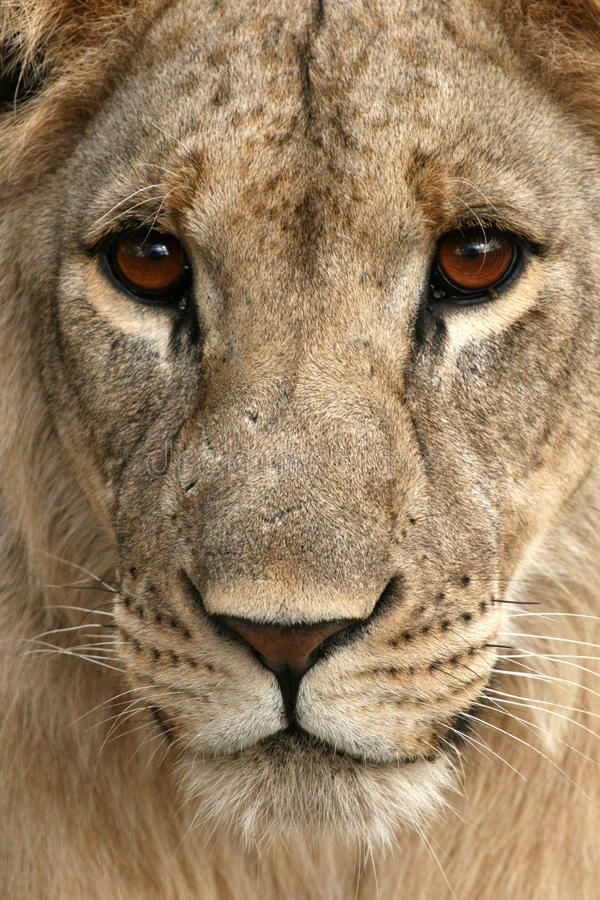 Lion - Africa royalty free stock image