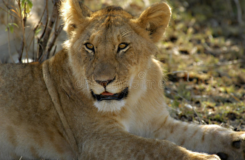 Lion, Africa royalty free stock photography
