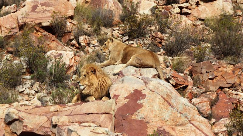 The lion is Africa`s largest terrestrial predator royalty free stock photo