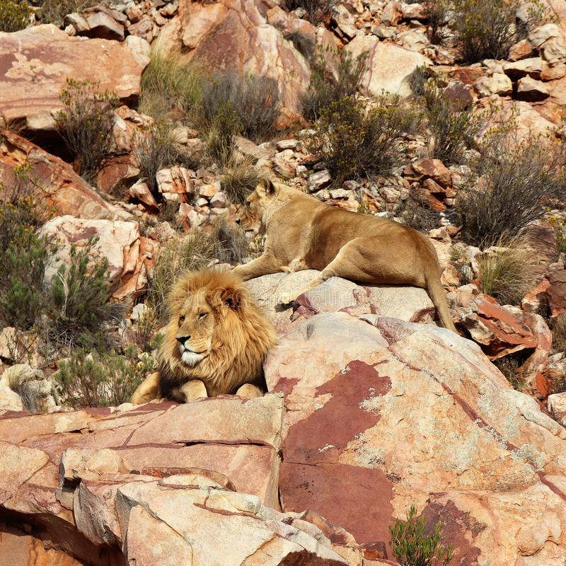 The lion is Africa`s largest terrestrial predator stock image
