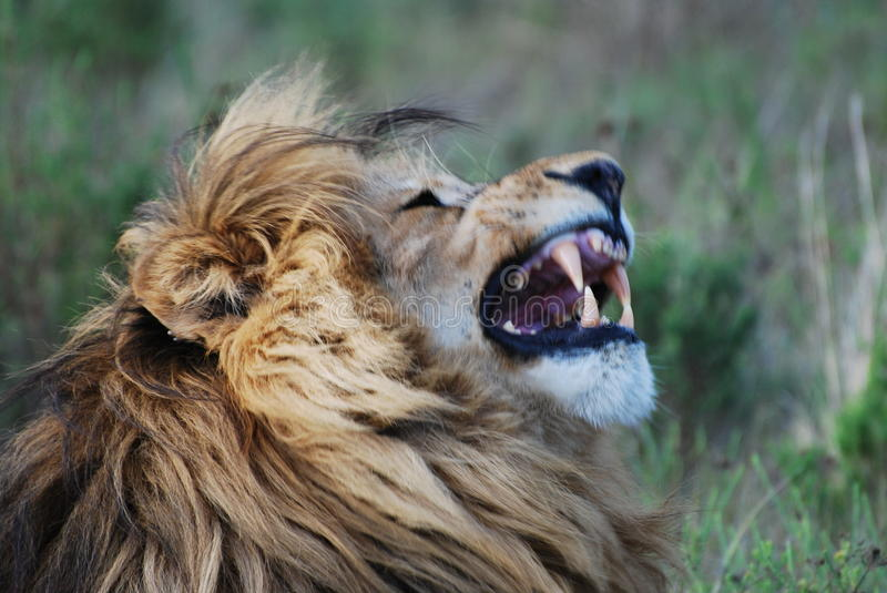 Lion in Africa stock photos