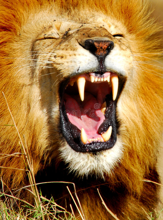 Lion africain baîllant
