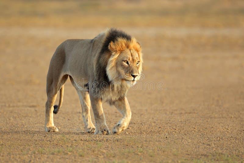 Lion africain de marche images libres de droits
