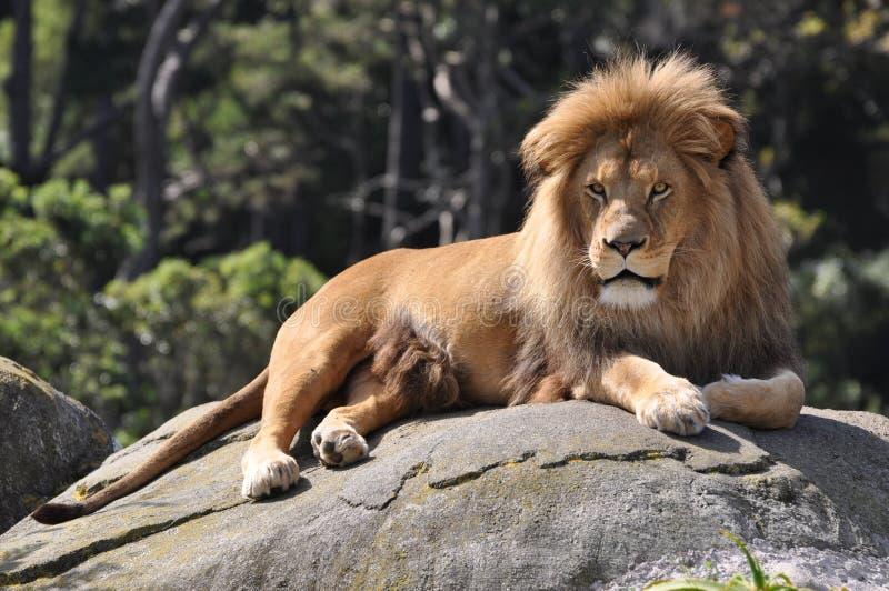 Lion africain de repos. images libres de droits