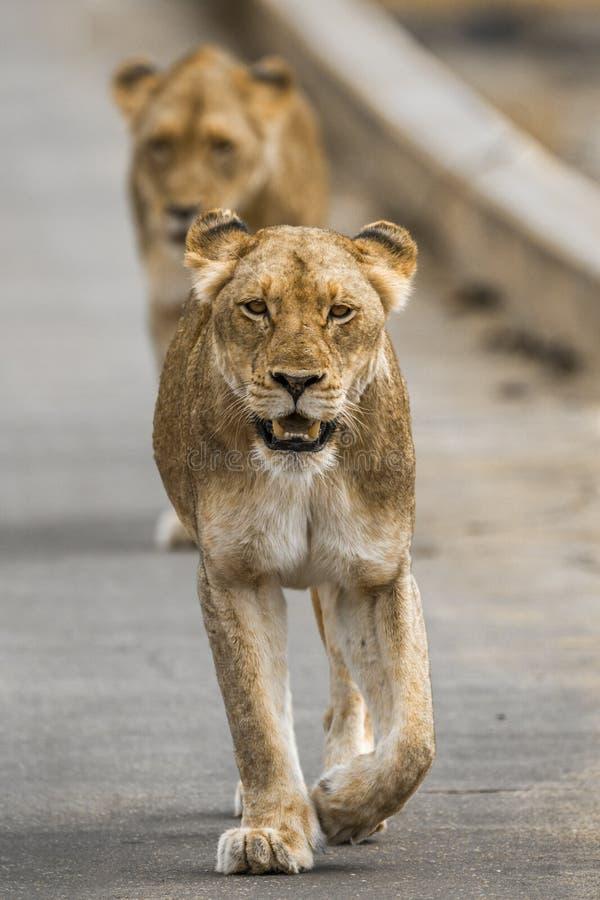 Lion africain en parc national de Kruger, Afrique du Sud image stock