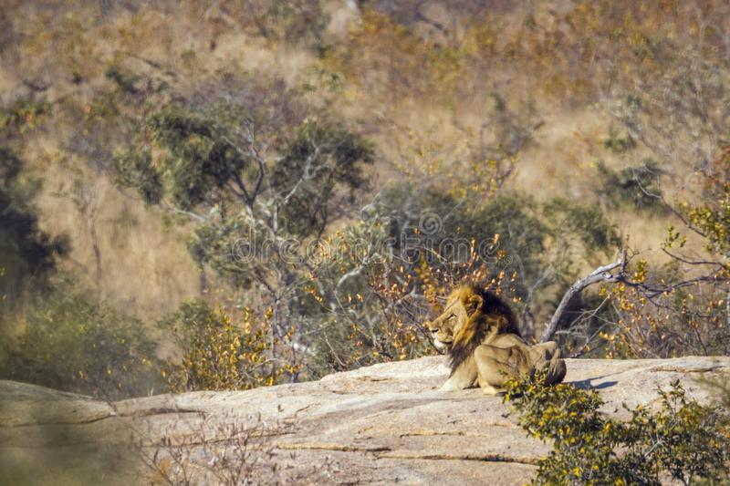 Lion africain en parc national de Kruger, Afrique du Sud photos stock