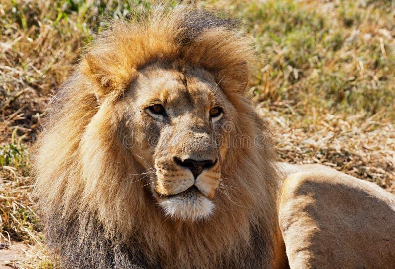 Lion africain mâle photographie stock libre de droits