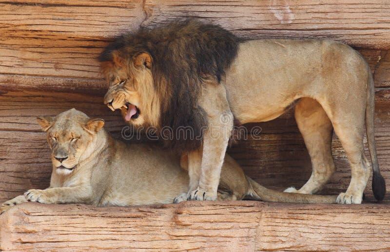Lion africain mâle grognant contre son compagnon photos libres de droits