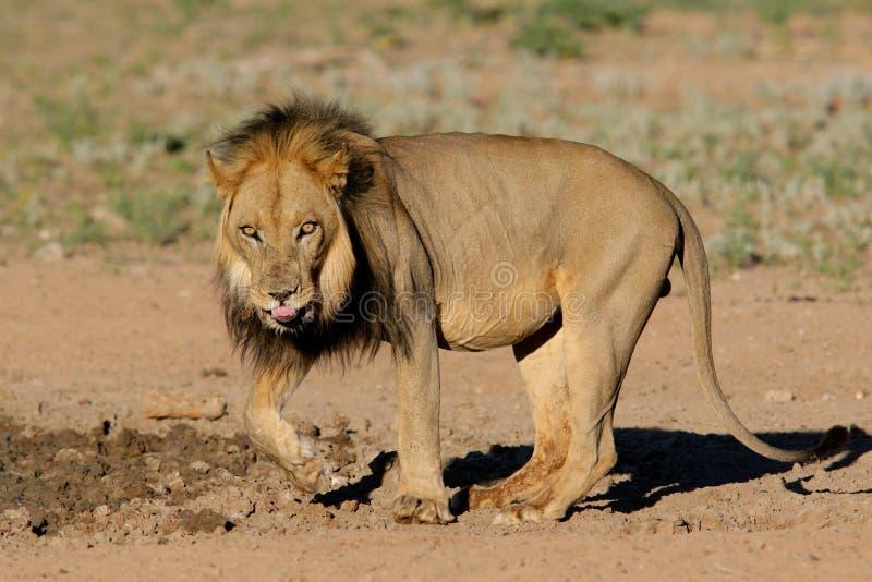 lion africain Noir-maned photos stock