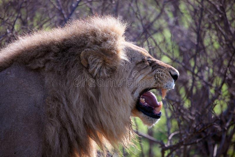 Lion African agression Kruger nationalpark, Sydafrika arkivbilder