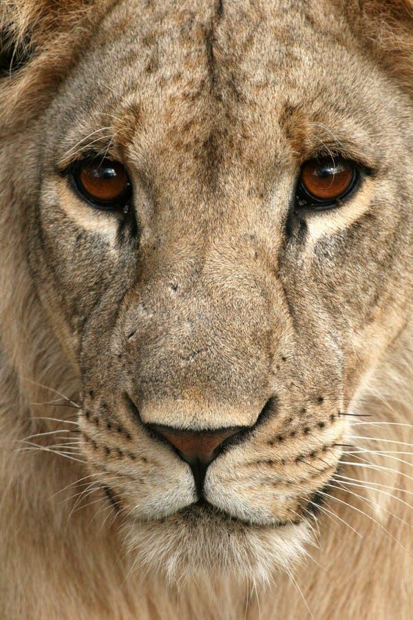 Lion - Afrika royaltyfri bild