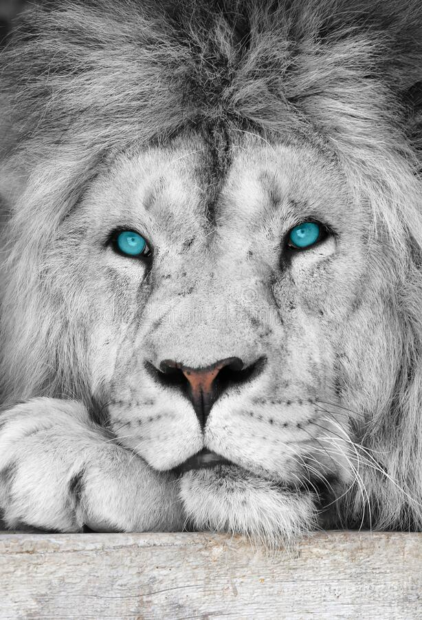 Lion albino with blue eyes close-up royalty free stock image