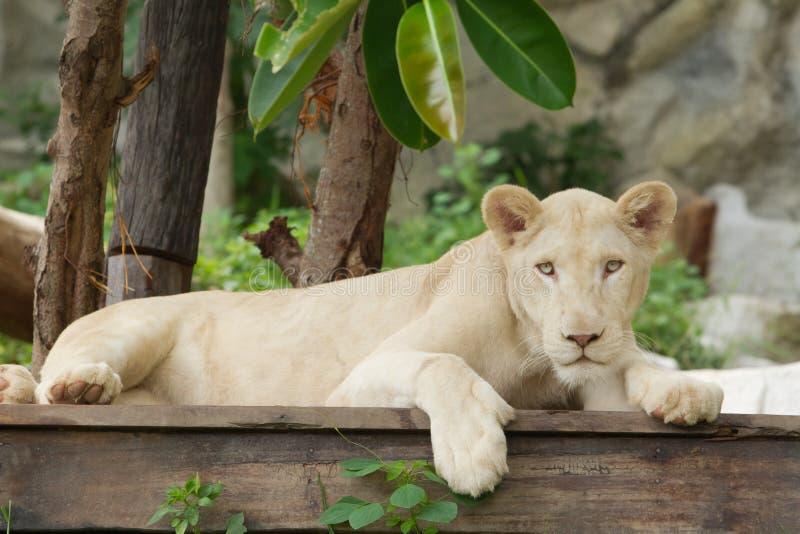 Lion albinos en parc de safari photo stock