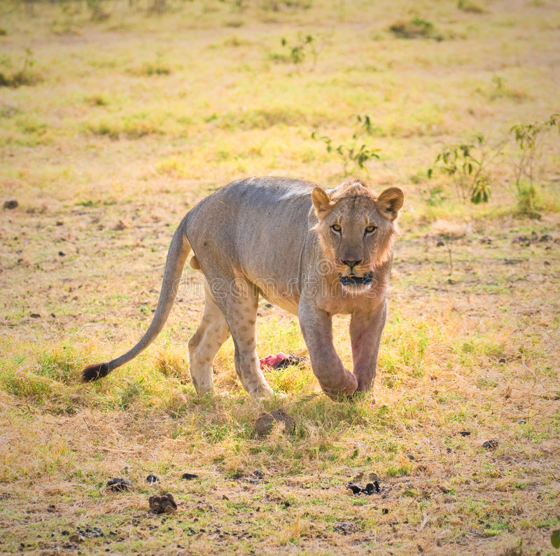 Download Lion, amboseli, kenya stock image. Image of view, large - 7692141
