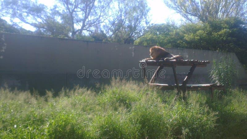 Lion Animal photos libres de droits