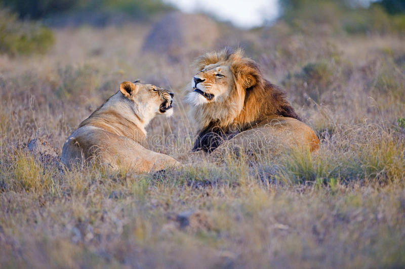 Download Lion Argument stock photo. Image of tourism, grass, tawny - 16427628