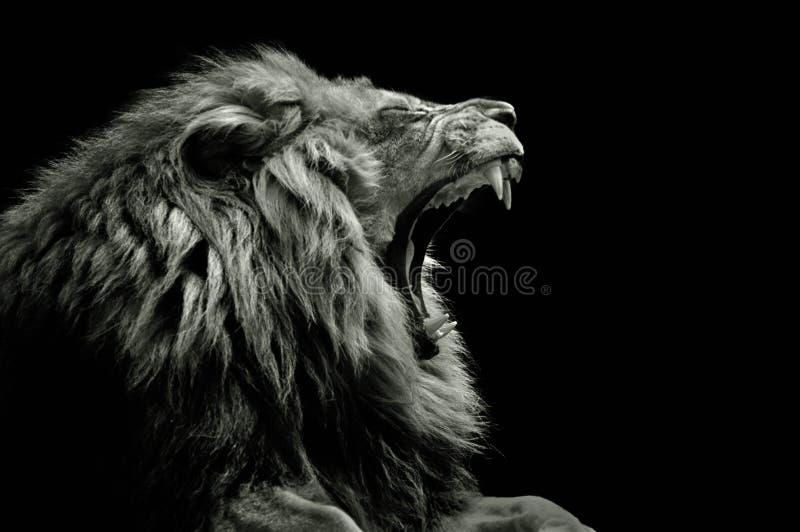 Lion arrière et blanc baîllant photographie stock