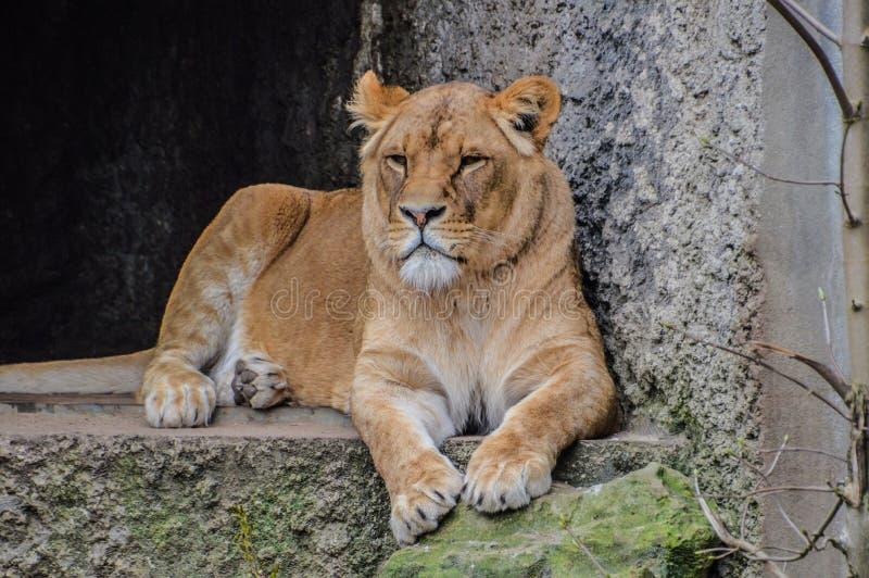 Lion At The Artis Zoo femenino Amsterdam los Países Bajos imagenes de archivo