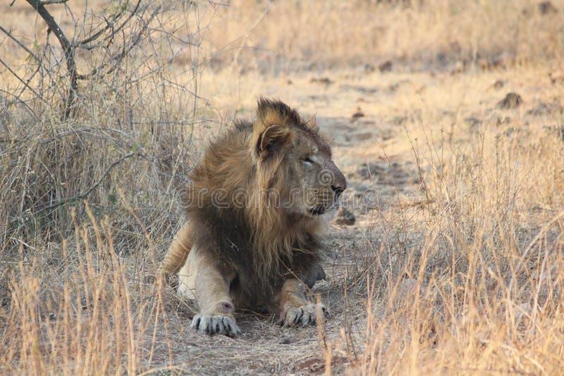 Lion asiatique image libre de droits