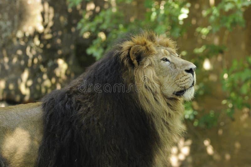 Lion asiatique (persica de Lion de Panthera) photographie stock libre de droits