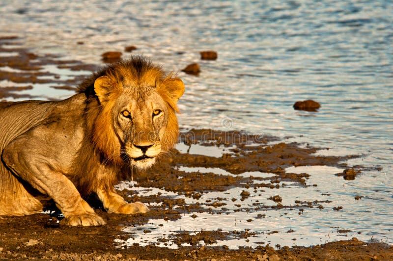Lion assoiffé image stock