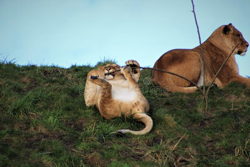 Lion atacking un jeune arbre photo stock