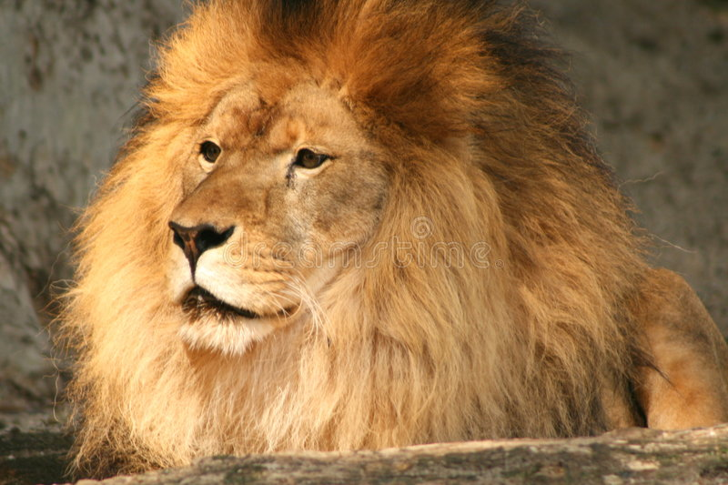 lion attentif photo stock