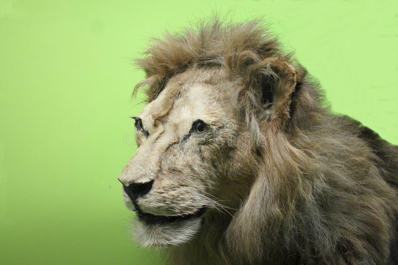 Lion au musée d'histoire naturelle photos stock