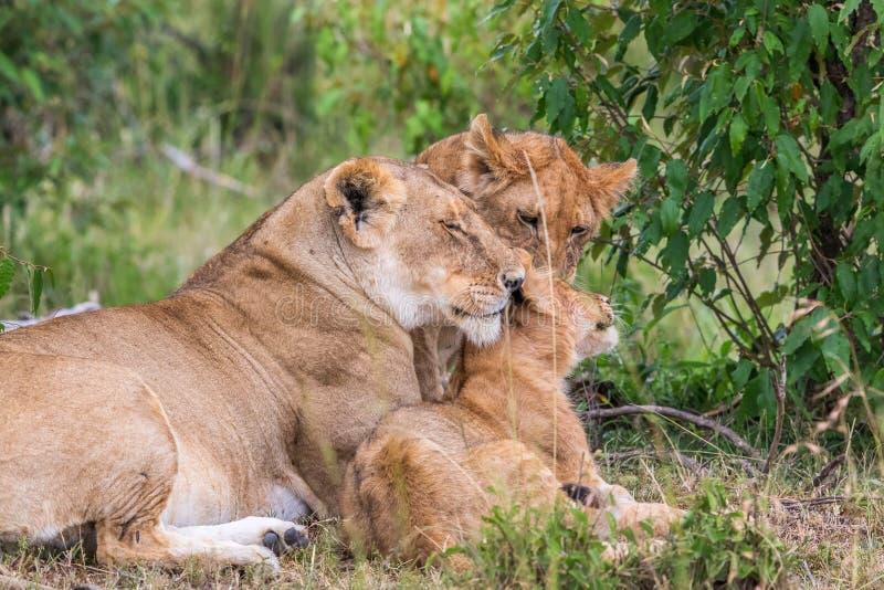 Lion avec des petits animaux photo libre de droits