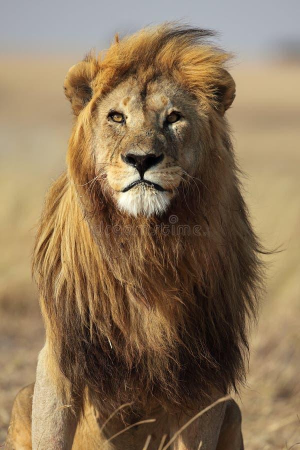 Lion avec la crinière d'or, Serengeti, Tanzanie image stock