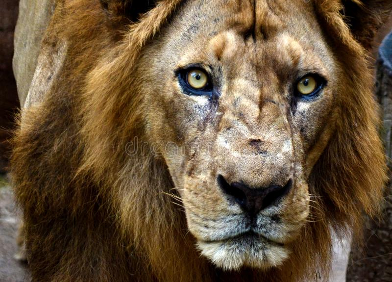 Lion avec la fin fâchée de visage  images stock