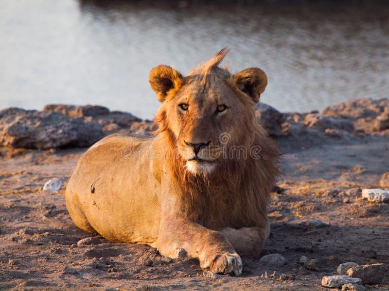 Lion ayant un repos image libre de droits