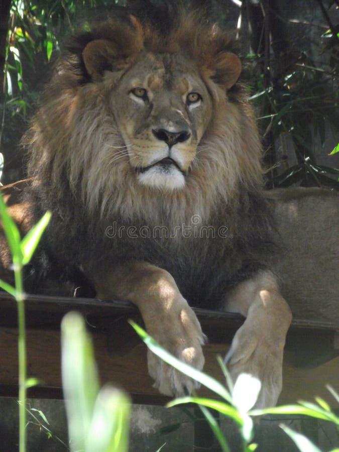 Lion Basking foto de stock