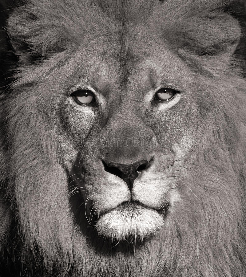 LION. Beautiful Portrait Of a Lion In Black and White stock photography