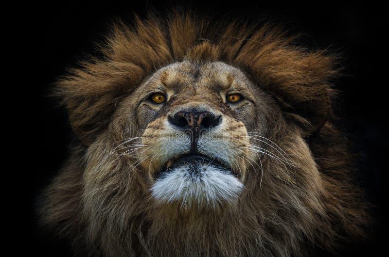 Lion Berber immagine stock